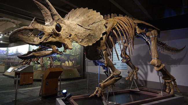 The 65-million-year-old Triceratops fossil at Museum of Science, one of  only four on display in the world. Photo © Emily Roose.