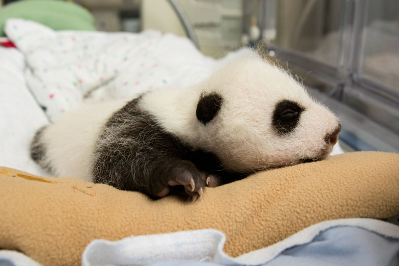 Baby Panda Born in Atlanta